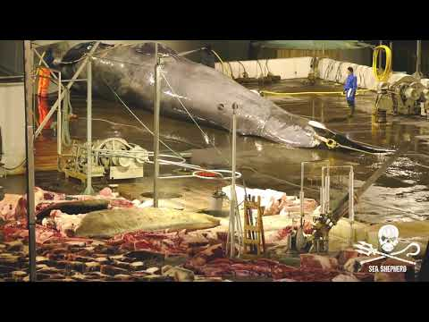 Second Blue/Hybrid whale harpooned by Icelandic whaling company Hvalur hr in 2018