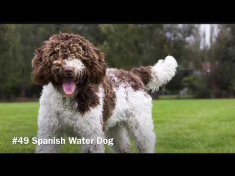 58 Hypoallergenic Dog Breeds