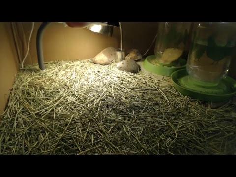 The Chickam Live Stream