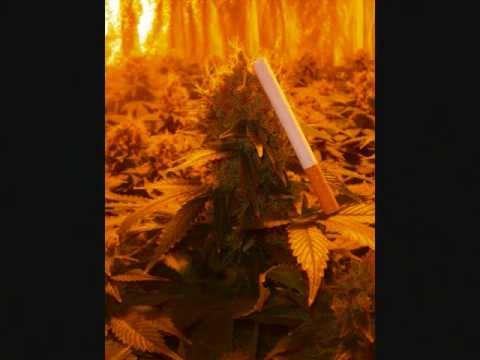 Plante ton herbe plantation d 39 interieur cannabis ma for Placard interieur cannabis