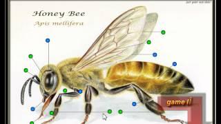 Анатомия пчелиного меда, антенн, хоботка, челюстями, соединение глаз, дыхальца,