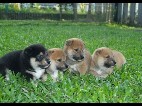 'The Ultimate Shiba Inu Puppies Compilation' || CFS