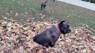 Senior Dogs Playing In The Leaves This Fall