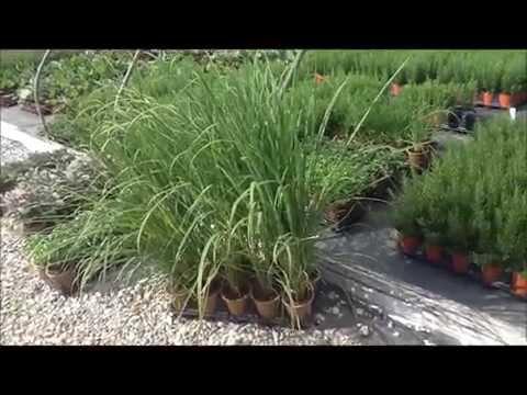 Best Herbs - Lemon Grass