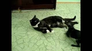 Той-терьер Тайсан и коты