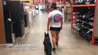 "5 m/o German Shepherd ""Ruger"" 