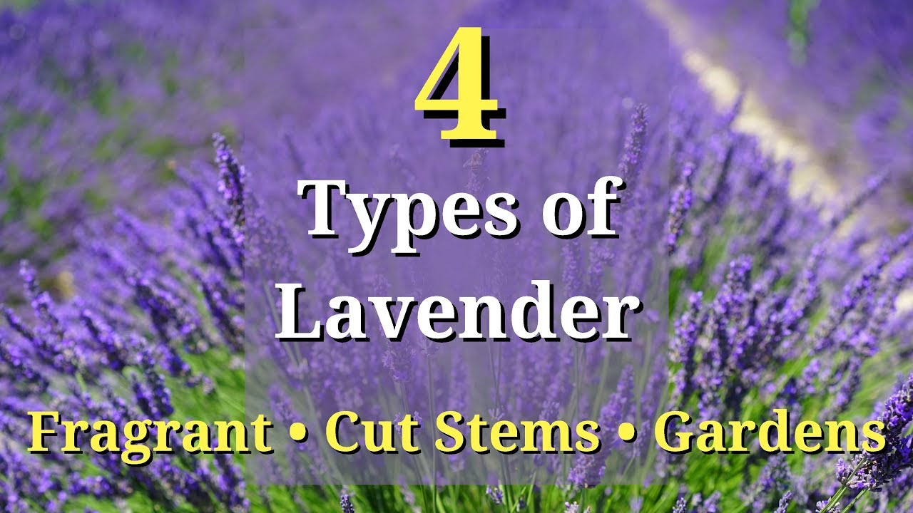4 Types Of Lavender Plants Youtube
