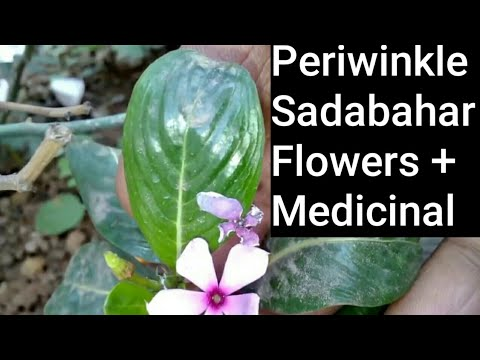 LIFE SAVING MEDICINAL PLANT PERIWJNKLE/SADABAHAR How to grow and use it (in Hindi /Urdu)