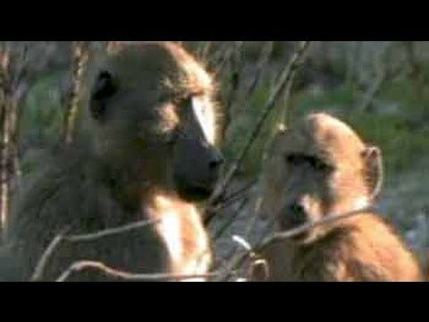 Born Wild: Tracking baboons in the heart of wild Africa (Aired: June 2009)