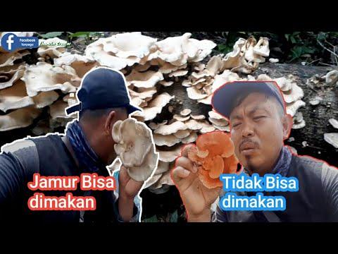Jenis jamur kayu yang bisa di makan.