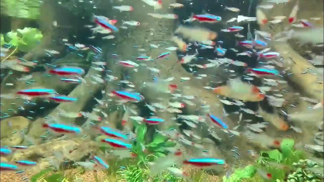 Bể thủy sinh phong cách Amazone + Nuôi cá neon theo đàn 10000lít