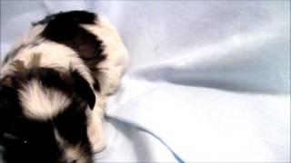 ブリーダーの子犬販売 アイドルドギー お問い合わせはこちらまで 03-680...