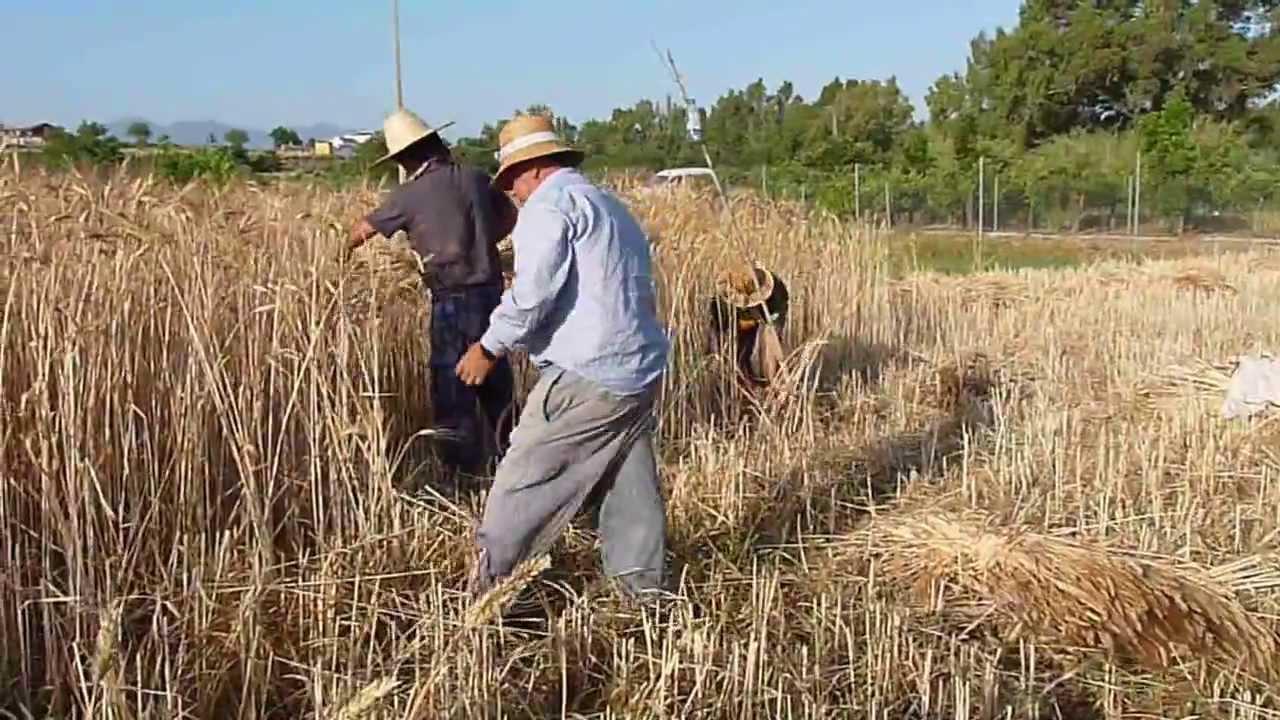 Siembra y recogida del trigo