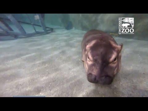 В зоопарке США детёныша бегемота учат плавать сотрудники