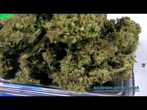 Royal Queen Seeds Easy Bud   Final Dry Yield Harvest Weight