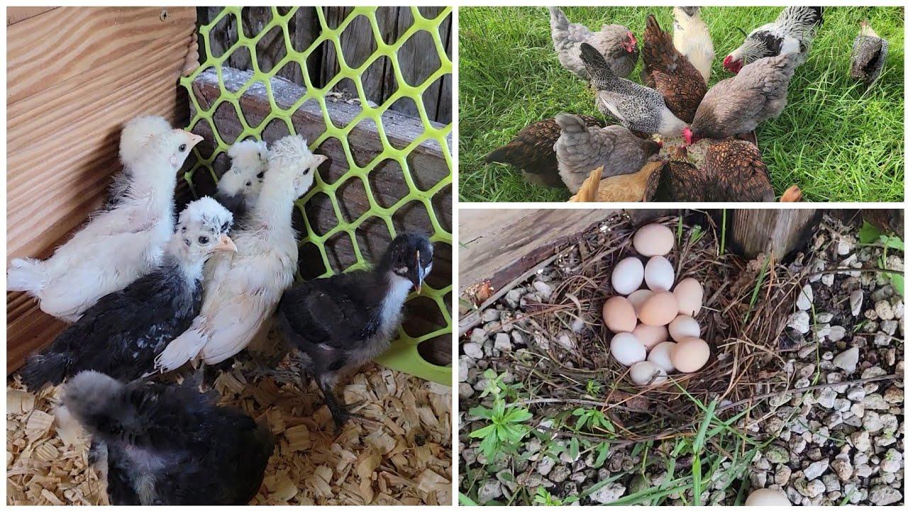 May bagong chicks kami | Kailangan ko mag egg hunt na 🤣😀