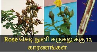 Rose செடி நுனி கருகலுக்கு 12 காரணங்கள் என்ன?