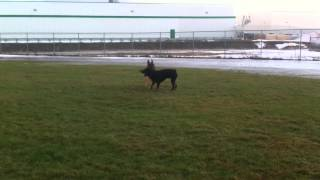 German Shepherd Vs. Rottweiler