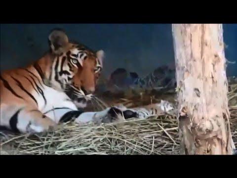 Naissance de trois bébés tigres en Inde