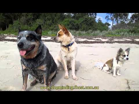 Ben and Billy (Aust Cattle Dogs) ... beach boys