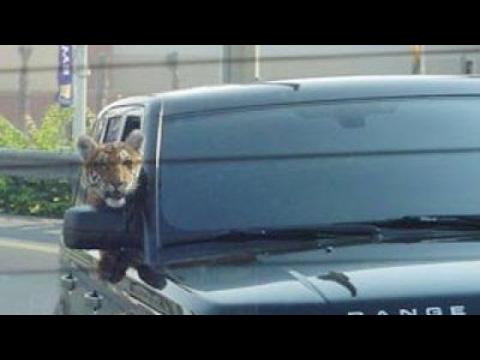 Это Россия, детка! Ручной тигр. Не ссы, он не кусается, просто поиграть хочет! :)