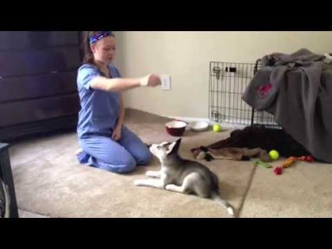 Husky Puppy Tricks (Bang Bang)