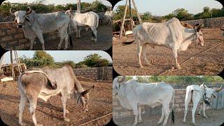 Village Bail Bazar   Bulls Marketing Gujarat    देसी बैल   वढीयारा बैल    ox Bazar Gujarat india