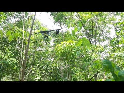 Pikat burung di batang pohon ...pakai suara MP3