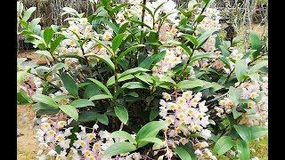 Đây là giò lan rừng khủng nhất mà tôi từng gặp | Orchid