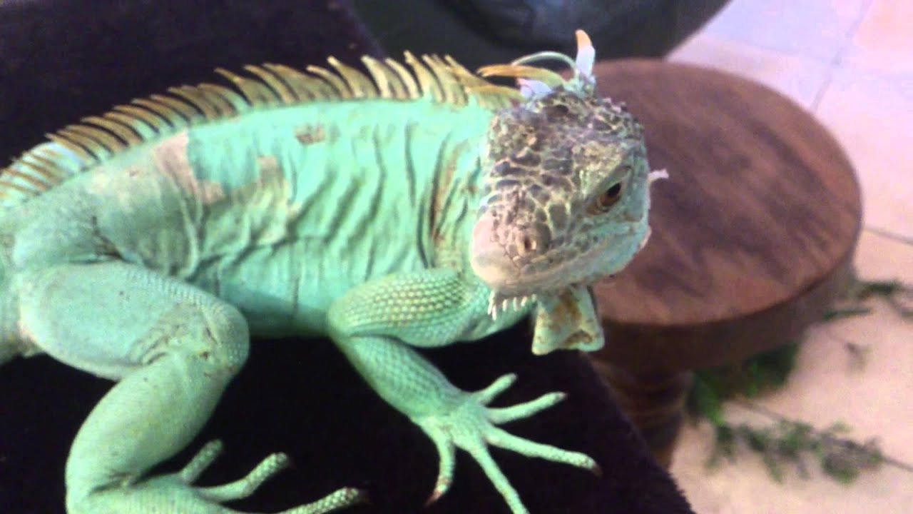 How To Cut Your Iguanas Lizards Nails Claws Blue Iguana