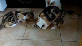 Шотландские котята в Киеве