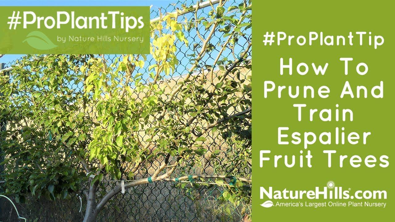 How To Prune And Train Espalier Fruit Trees Naturehills Com