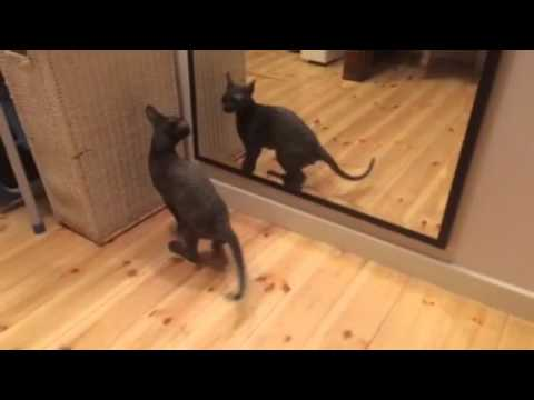 4 month cornish rex sees him self in the mirror