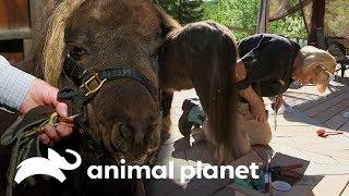 Pedicure para un pony   Dra. Dee: Veterinaria de Alaska   Animal Planet