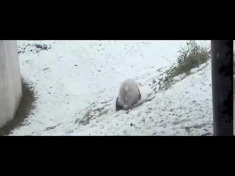 Панда радуется снегу, как ребенок в Торонто