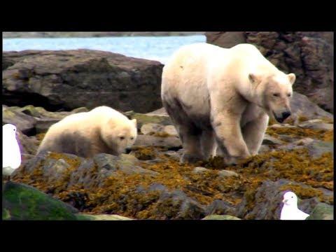 L'ours polaire (Documentaire : Les grands carnivores)