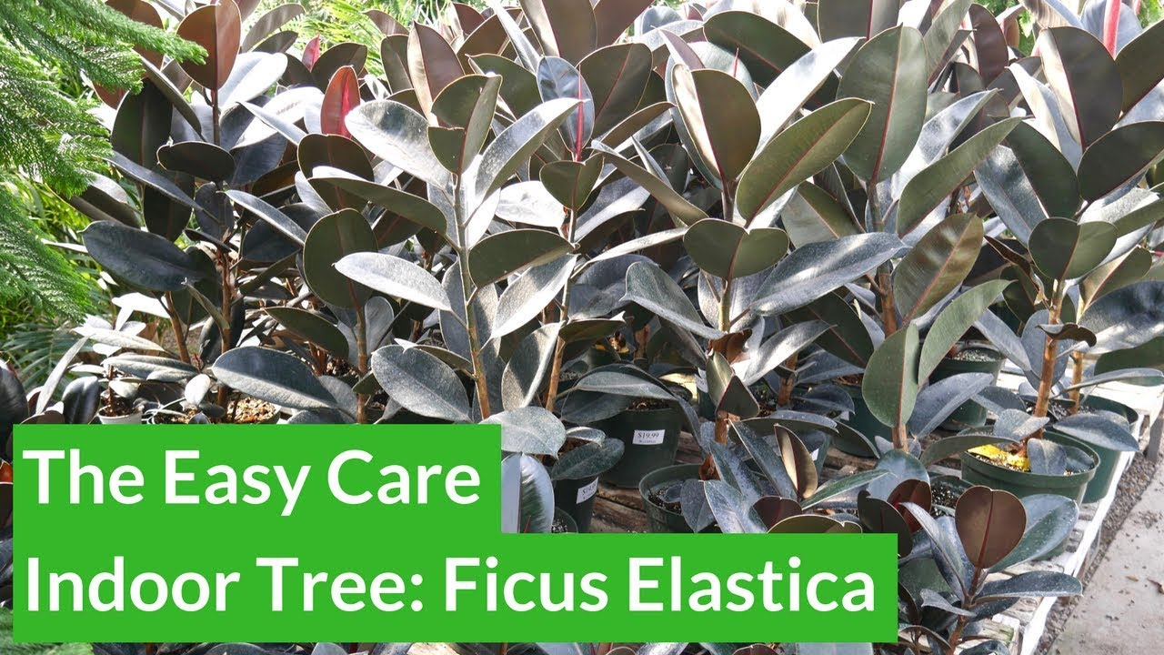 The Easy Care Indoor Tree Rubber Plant Ficus Elastica Joy Us Garden