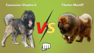 Caucasian Shepherd vs Tibetan Mastiff   Who is more POWERFUL?