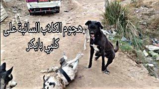 قتال كلبي بايكر مع الكلاب السائبة