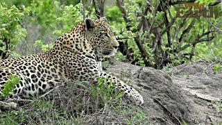 WildEarth - Sunset Safari - December 8, 2019 thumbnail