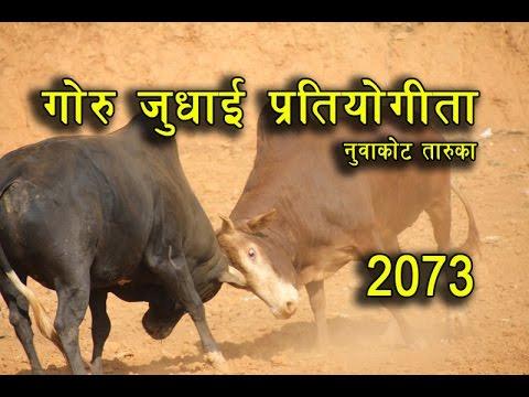 गोरु जुधाई प्रतियोगीता नुवाकोट 2073    Bull Fight in Nepal Taruka Nuwakot    Goru Judhai 2073/ 2017