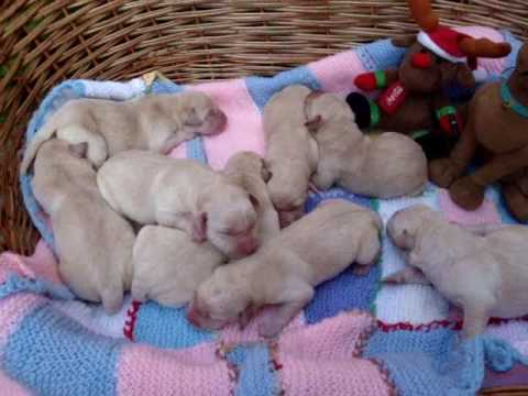 1 day old Labrador puppies