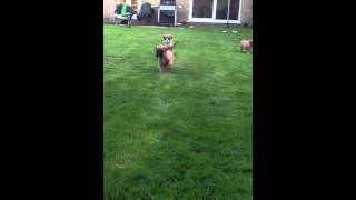 Early Recall training: Cherry's 5-week old Boxer puppies!