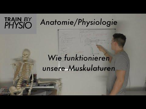 Wie Funktioniert Muskulatur Erklärung Anatomie/Physiologie Teil 1 ...