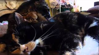 cat grooming a purring cat