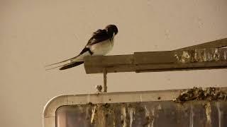 身づくろいのツバメ 天井翼 検索動画 10