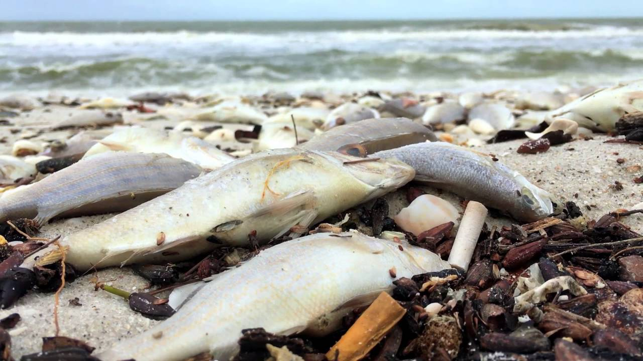 Hurricane matthew brings red tide to north naples fl 1 for Naples tides for fishing