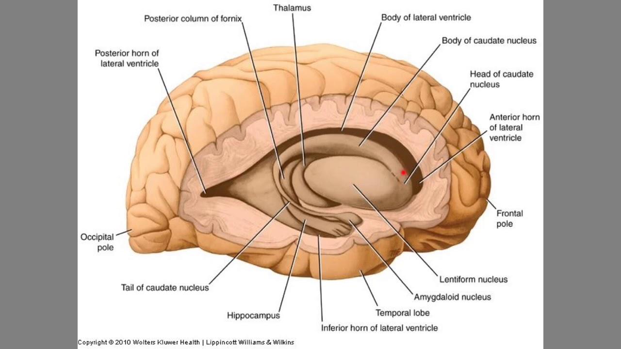 Hemisferios Cerebrales Configuración Interna Parte 1 De 3