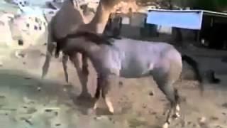 فيديو روعة حصان وجمل كانوا معا في حظيرة واحدة