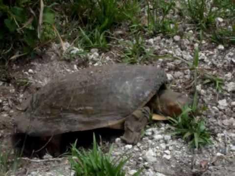 Tartaruga Dal Guscio Molle.Nesting Apalone Ferox La Tartaruga Dal Guscio Molle Dlla Florida